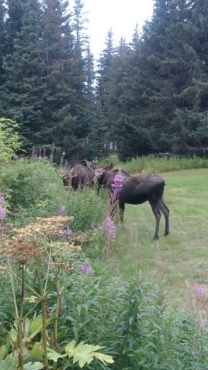 Male moose in front of my yurt