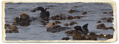Sea otters floating around