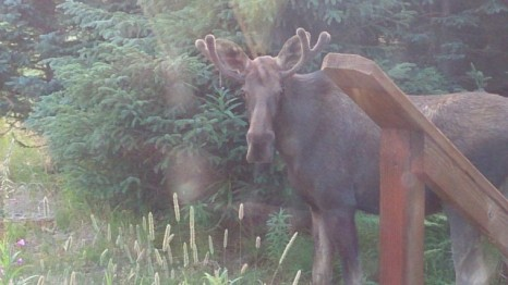 Moose standing in front of my yurt