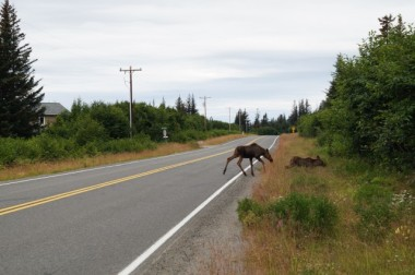 Moose family crossing the street