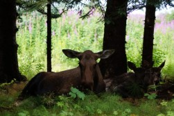 Mama moose and her babies