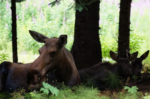 Moose family relaxing in the garden