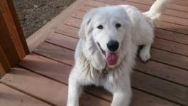 Shiro, the polar bear dog