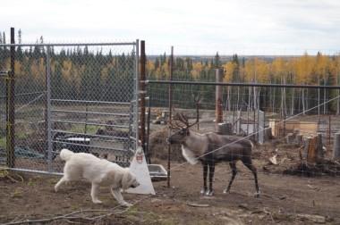 027_Teasing the reindeer