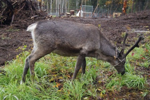 New baby reindeer arrived
