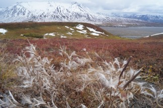 Fireweed in Denali - winter is coming!