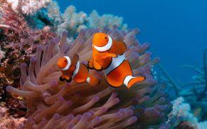 NEMO - Clownfish