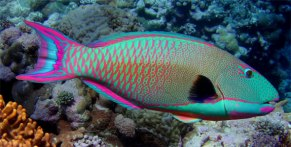 Parrotfish - my new favorite fish in the world!