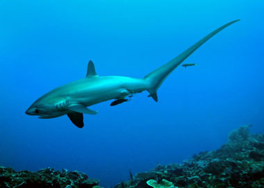 The one and only famous Thresher Shark!