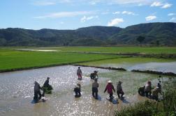 Working on rice fields...