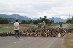 Duck 'farming'
